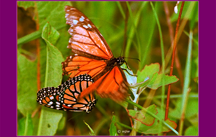 <Photo in close-up by Wolf Peter Weber of a pair of monarch butterflies mating on the ground of a meadow. Wing of female monarch like a