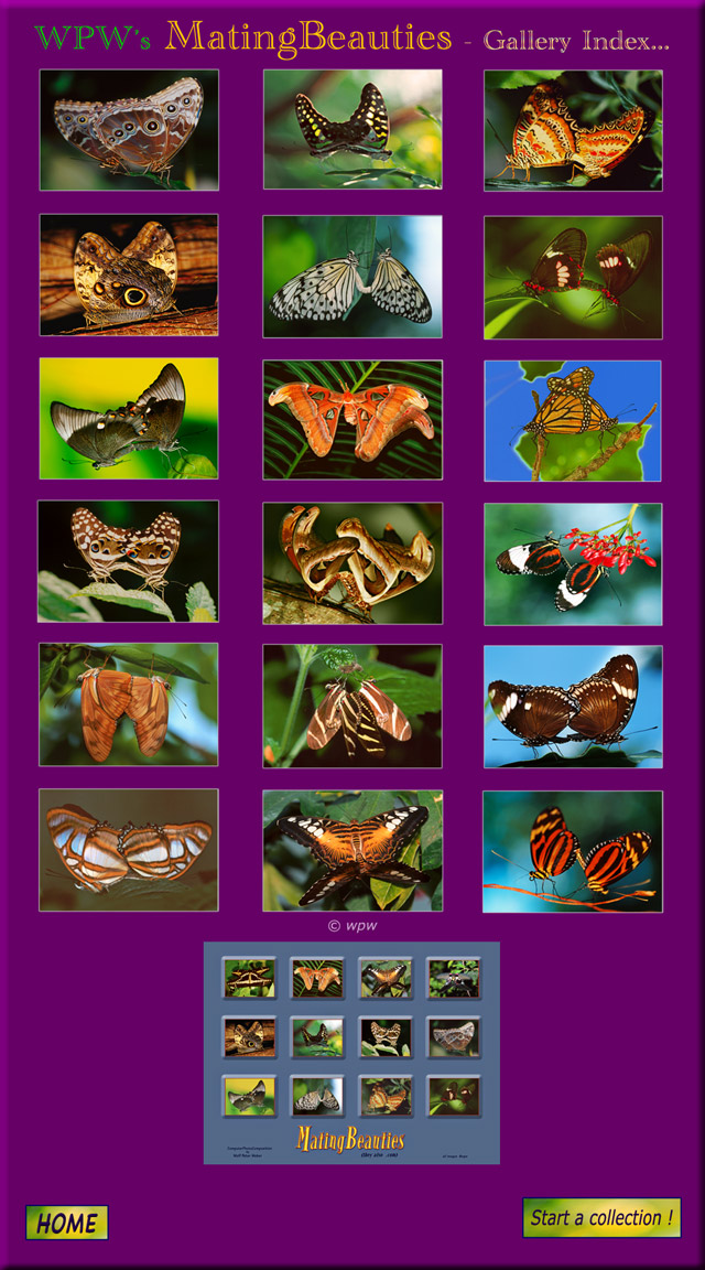 Colorful Mating Beauties mating Butterfly Images Index