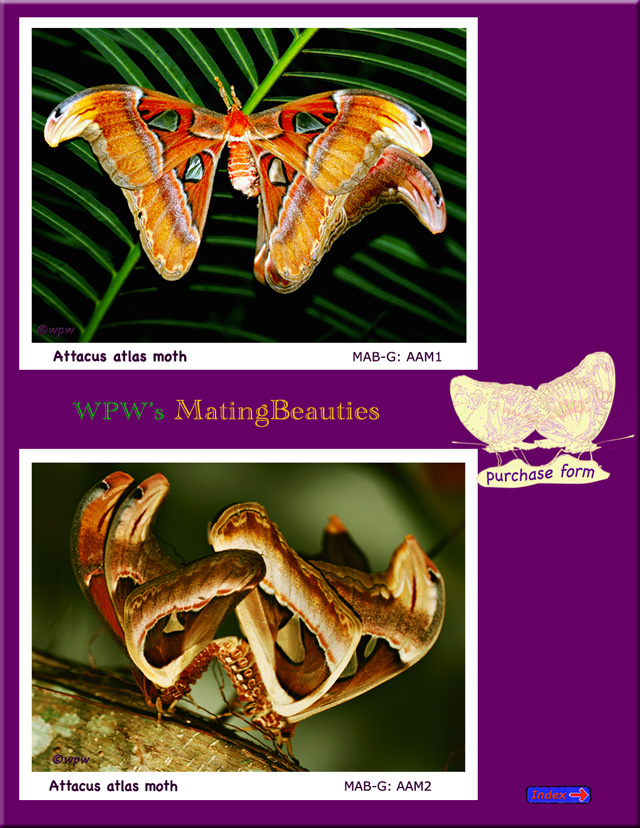 2 Pictures of strangely beautiful Attacus atlas moths mating.